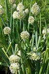 Welsh Onion (Allium fistulosum)